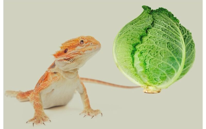 Realities About Feeding Cabbage To Your Bearded Dragons