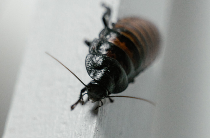 Cockroaches : All Major Things You Should Know